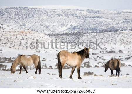 wild horses enduring winter in the bighorn canyon, wyoming. 400mm, focus on center horse.
