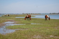 Wild horses enjoying a beautiful day on Assateague Island, in Worcester County, Maryland.