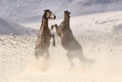 Wild Horses Fighting in the desert