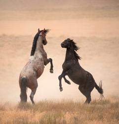 wild horses fighting in Utah Desert