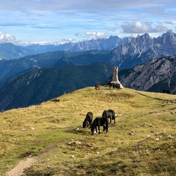 Wild horses graze the green grass in harmony high up among the mountains in the Dolomites