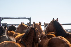 Wild horses in corral holding pens, round up