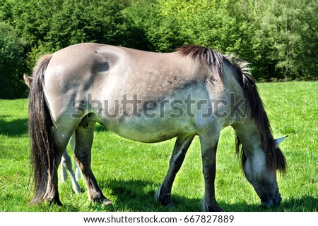 Wild horses in Neandertal. Tarpan is a Eurasian wild horse obtained by re-breeding. #667827889
