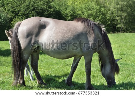 Wild horses in Neandertal. Tarpan is a Eurasian wild horse obtained by re-breeding. #677353321