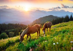 Wild horses like mustangs graze on clean alpine meadows. Blooming meadows against the backdrop of beautiful forest peaks, the sun is setting, a warm summer evening