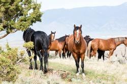 Wild horses living in the Nevada desert