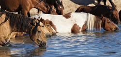 Wild horses of the Onaqui herd in Great Basin desert Utah, drinking at the waterhole on a hot summer day.