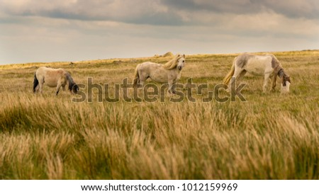 Wild horses on a grey and windy day near Foel Eryr, Clynderwen in Pembrokeshire, Dyfed, Wales, UK #1012159969