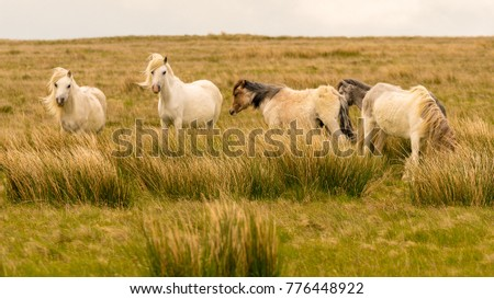 Wild horses on a grey and windy day near Foel Eryr, Clynderwen, Pembrokeshire, Dyfed, Wales, UK #776448922
