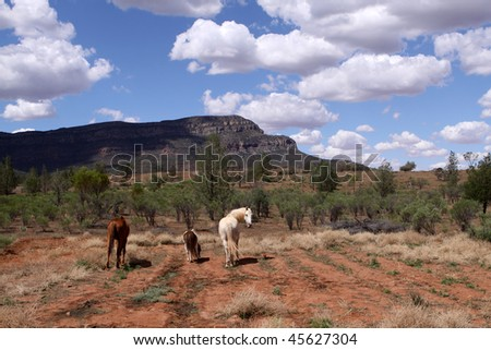 Wild Horses. Outback. Wilpena Pound. Australia - stock photo