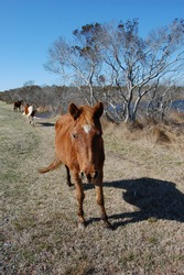 Wild horses roaming Assateague Island, in Worcester County, Maryland.