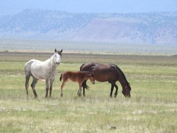 Wild horses roaming the Adobe Valley in the Sierra Nevada Mountains, California. Graceful mustangs of the open range.