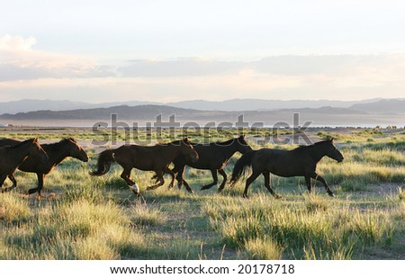 wild horses running through the mongolia prairie - stock photo