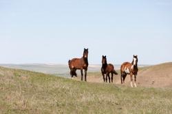 Wild Horses walking in a grassy field in Montana