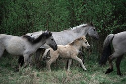 Wild horses with foal in forest
