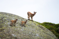Wild ibex and its cubs or mountain goats on standing on a rock at Mont Blanc. Wild animal. New born, baby animal.