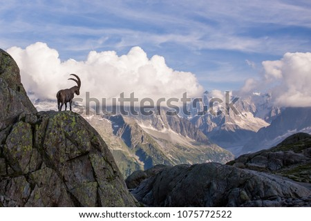 Wild Ibex in front of Iconic Mont-Blanc Mountain Range on a Sunny Summer Day #1075772522