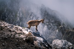 Wild ibex standing on the rocks in the mountains, Italy