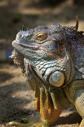 Wild Iguana monster wildlife photography