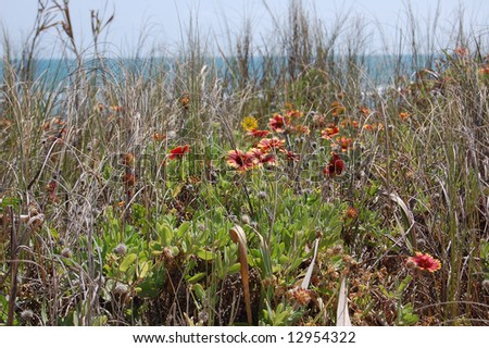 Wild Indian blanket flowers on beach