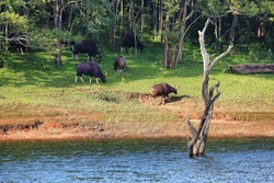 Wild Indian Gaurs or buffalos grazing in Periyar national park, Kerala, India.