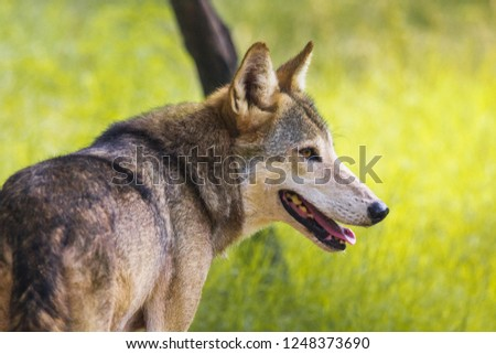 Wild Indian Wolf in Jungle  #1248373690
