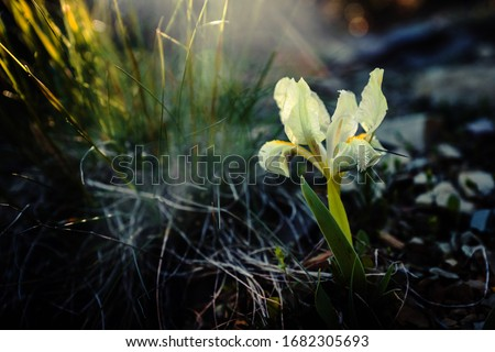 Wild iris in the setting sun. They grow in the southern regions of Russia. Photographed in the village of Sukko, Krasnodar Territory. Stock fotó ©