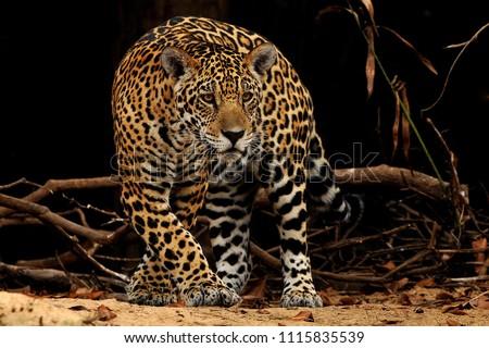 Wild jaguars in action #1115835539