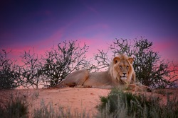 Wild Kalahari lion, Panthera leo. Black mane desert lion  resting on red dune against purple sunset sky. Direct view, low angle.  African animals in Kgalagadi transfrontier park, Botswana.