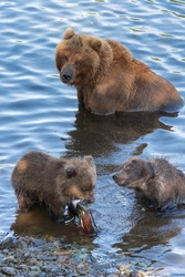 Wild Kamchatka brown she-bear with two bear cub catch red salmon fish and eat it while standing in water of river. Kamchatka Peninsula, Russian Far East, Eurasia