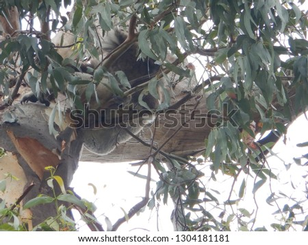 Wild koala dozing in the high branches of an Eucalyptus in cape Otway National Park - Victoria