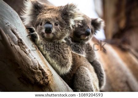 Wild koala seen along the way to Cape Otway Lightstation Melbourne Australia Great Ocean Road #1089204593