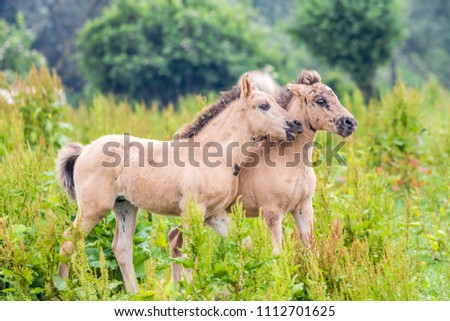 wild konik horse foals playing together in the Dutch Oostvaardersplassen nature reserve