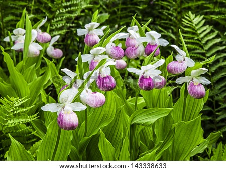 Wild lady slipper orchids in a bog of the cypripedioidea family.