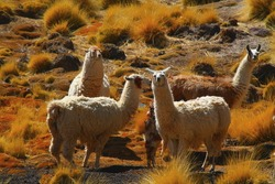 wild lamas graze in high desert mountains above of the plateau of the oasis of san pedro de atacama