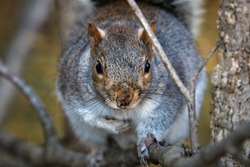 Wild large fat eastern gray squirrel (Sciurus carolinensis) perched on a tree in the shade, approaching the camera cautiously