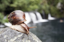 Wild large mollusk shell in front of a cascade