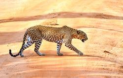 Wild leopard hunt in Africa