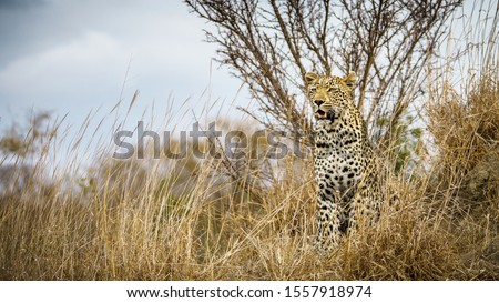 wild leopard in kruger national park in mpumalanga in south africa ストックフォト ©