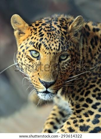 Wild Leopard in the tropical African savanna