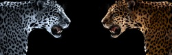 Wild leopard, jaguar, cheetah, on black background, horizontal photo