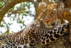 Wild leopard lying in wait atop a tree in Masai Mara, Kenya, Africa