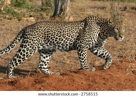 Wild leopard walking through open savanna, full body view in morning light