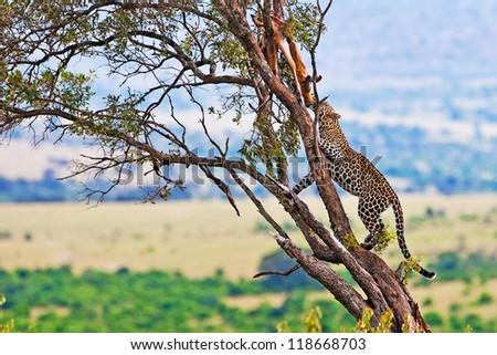 Wild leopard with its prey, an impala antelope on a tree in Maasai Mara, Kenya, Africa