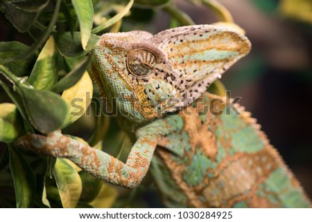 Wild life and reptiles concept. Chamaeleo calyptratus with light green, yellow and brown skin. Chameleon rests on branches among leaves, close up. Exotic pet lizard on natural background, defocused #1030284925