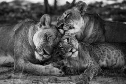 Wild Lion family Okavongo Delta Botswana