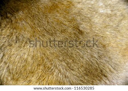 wild lion fur under the light