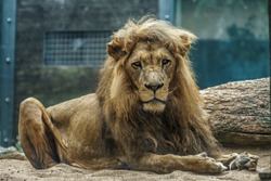 wild lion male is chilling in the savanna sun