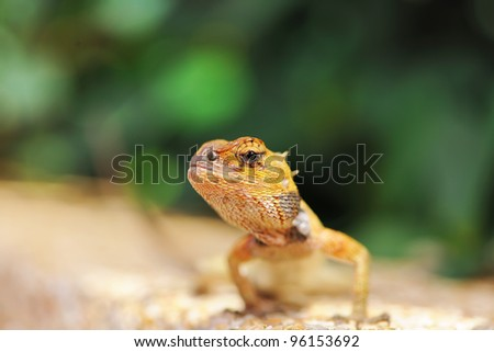 Wild lizard in Thailand close-up - stock photo