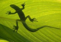 Wild lizard on backlight leaf